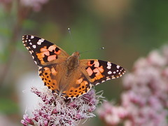 (Polotaro) Tags: mzuikodigital45mmf18  butterfly insect bug nature olympus epm2 pen zuiko         10  garden
