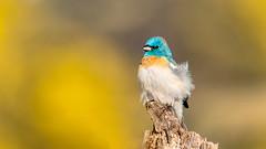 Lazuli Bunting (Bob Gunderson) Tags: birds buntings california lazulibunting northerncalifornia passerinaamoena ranchosanantonio santaclaracounty southbay