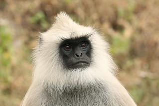 Hanuman Langur - Semnopithecus entellus