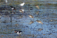Waders (Hythe Eye) Tags: hythe hampshire southamptonwater blackheadedgulls blacktailedgodwit oystercatcher