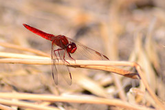 Scarlet Dragonfly / Broad Scarlet / Common Scarlet-Darter / Scarlet Darter (Mark & Cy Photos) Tags: crocothemis aerial angle animal animalia anisoptera arthropod arthropoda arts background beast blurred bug c composition crafts defocused detail dragonfly epiprocta erythraea exterior focus format framing genre grass horizontal insect insecta libellulidae life light lighting macro natural odonata outdoor photo photography scarlet setting style top travel vegetation view wild wildlife worldplantvegetationgrassartscraftsphotographysettingexterioroutdoorphotogenrestyletypewildlifetravelmacrolightingnaturallightframingcompositiondetailformathorizontalfocusbackgroundblurreddefocusedangleviewtopaerialanimal