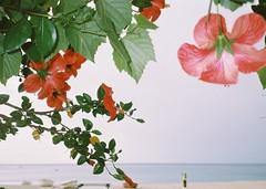 Ora ha una voce e un sangue  ogni cosa che vive (nonplusultra22) Tags: konicaminoltazoom60 pellicola film pellicolascaduta expiredfilm 35mm pc100color mare sea analogicait fiori flowers