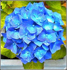 Blue Hydrangea .. (** Janets Photos **) Tags: uk plants flora flowers hydrangea blue