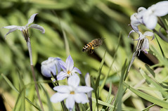 Bee 4 (Paulo McIver) Tags: spring bee swan blackswan australianalps bombala cooma dalgety ephemerallake environment environmental garden highcountry landscape monaro paulmciver southeastaustralia southeastnewsouthwales snowymountains southeastnsw