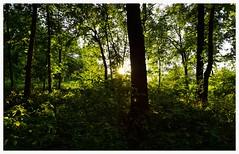 Peek-A-Boo (vainapur) Tags: sun sunlight sunrays shilloute forest urbanforest green greeens light nature naturescolors sunset summer lateevening latesummer tree trees treetrunk trunk twilight