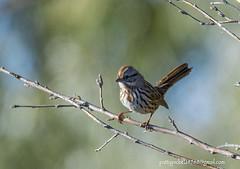 song sparrow (Pattys-photos) Tags: song sparrow marketlakewildlifemanagementarea idaho pattypickett4748gmailcom