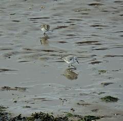 Sanderlings (mike_j's photos) Tags: spurn head point humberside humber river northsea ywt yorkshirewildlifetrust