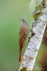Montane Woodcreeper, Ecuador (www.juancarlosvindasphoto.com) Tags: juancarlosvindas nature wildlife landscape birds birdphotography photographer photos pictures stock fulllength nobody frontalview sideview outdoors mammals endemic reptiles portraitmode portrait large small aves colibries colibris hummingbird canon multiflash gear tropical rainforest cloudforest tropicaldryforest protected workshop tour expedition unique cute waterfall green forest poisonous rightsmanaged rm getty treefrog leaffrog landscapes ecuador distinctive endangered animalsinthewild birdwatching biology biodiversity multicolored animal toucan wildanimals tropicalbirds neotropicwildlife neotropicbirds montanewoodcreeper