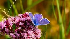 Azur (september) - 7DAYS with flickr (Yasmine Hens) Tags: 7dwf azur papillon butterfly hensyasmine namur belgium wallonie europa aaa  belgique blgica    belgio  belgia   bel be saariysqualitypictures