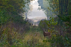 Calm but Wary (ramseybuckeye) Tags: white tail deer county ohio pentax life wildlife whitetail fog woods trees champaign whitetailed