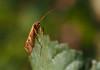 caddisfly (Johnson Cameraface) Tags: 2016 october autumn olympus omde1 em1 micro43 zd zuiko macro 50mm f2 johnsoncameraface caddisfly trichoptera insect doncasterlakeside