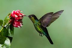 Fiery-throated Hummingbird - Panterpe insignis (gecko47) Tags: bird panterpeinsignis multiflash costarica paraisoquetzallodge hovering feeding naturesphotoadventures fierythroatedhummingbird hummingbird explore