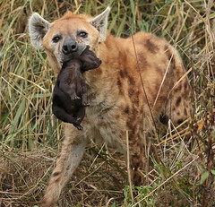 spotted hyena Blijdorp JN6A2945 (j.a.kok) Tags: hyena spottedhyena gevlektehyena crocutacrocuta blijdorp zoogdier mammal kira predator afrika africa