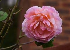 DSC_3198 (PeaTJay) Tags: nikond750 reading lowerearley berkshire macro micro closeups gardens outdoors nature flora fauna plants flowers rose roses rosebuds