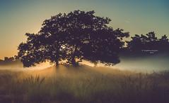 Tales of a tree - part 11 (Ingeborg Ruyken) Tags: 2016 500pxs drunenseduinen loonseendrunenseduinen dawn dropbox flickr morning natuurfotografie ochtend september summer zomer zonsopkomst
