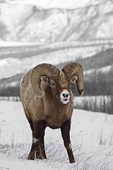 Damn, Can I Tap That? (cowgirlrightup) Tags: bighorn snow mountains cowgirlrightup alberta canada ram wild jasper