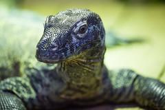 Varanus Komodoensis (JOAO DE BARROS) Tags: dragon lizard reptile portrait zoo joo barros