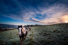 Horses at Sunrise (SimonBaker5) Tags: springhill sunrise frost sky ramsbury wildhorses wiltshiremmoring horses grass