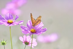 Cosmos flower and a butterfly (myu-myu) Tags: nature flower cosmos insect butterfly argyreushyperbius nikon d500    japan