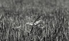 ~new life in monochrome~ (~~ASIF~~) Tags: canon60d outdoor monochrome landscape field blackandwhite grass plant dof