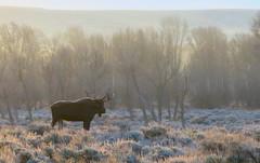 Frosty morning with Moose-Jackson Hole, Wyoming (Cooke Photo) Tags: jacksonhole jackson jacksonholewyoming moose moosejacksonhole wildlife animal americanwest mooseinfrost grandtetons wildlifeofthewest nature