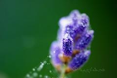 just a litle sparckle... (ggcphoto) Tags: backlit macromondays addalitlesparckle lavender flower morningdew light green bokeh outdoor macro photogroaphy 60mm tamron