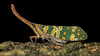 Lantern Bug (Pyrops Candelaria) (Jimnielsen60) Tags: hongkong newterritories longan pyropscandelaria lanternbug lanternfly