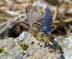 Eurasian  Rock Pipit  ( Anthus petrosus ) - Taking flight !! (Mid Glam Sam1) Tags: rockpipit anthuspetrosus coastal wales inflight takingoff pipit