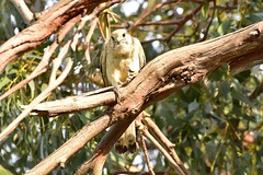 Kestrel has caught dinner (Luke6876) Tags: nankeenkestrel kestrel falcon birdofprey raptor bird animal wildlife australianwildlife