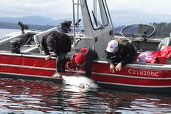 60623186 (QCL Shooter) Tags: qcl haidagwaii bcfishing salmon sportfishing queencharlottelodge fishingfirstclass adventure chinook halibut cr catchrelease