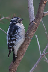 catching the last light (jimmy_racoon) Tags: 70200 f4l is canon 5d mk2 birds downy nature woodpecker woods 70200f4lis canon5dmk2
