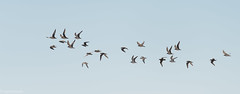 Flock of Kentish Plovers (Strandplevieren) in Realmonte (Sicily) (eParanoia) Tags: portoempedocle sicilia italy it