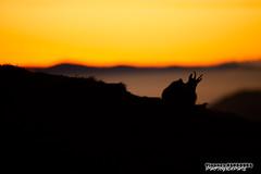 Dlicatement pos sur un lit de brume (Vianney Vaubourg) Tags: chamois hohneck vosges lorraine alsace france montagne brume levdesoleil contrejour lumire couleurs orange silhouette nikon d3s nikkor 400f28 vr fl vaubourg vianney photographie 2016 animalier nature libreetsauvage naturebynikon