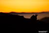 Délicatement posé sur un lit de brume (Vianney Vaubourg) Tags: chamois hohneck vosges lorraine alsace france montagne brume levédesoleil contrejour lumière couleurs orange silhouette nikon d3s nikkor 400f28 vr fl vaubourg vianney photographie 2016 animalier nature libreetsauvage naturebynikon