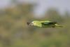 Flying Amazon (Tim Melling) Tags: amazona aestiva bluefronted turquoisefronted amazon parrot flying flight pantanal brazil timmelling