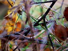 2016-11-21 autumn weeds (april-mo) Tags: autumn automne fall autumnleaves deadleaves feuillesmortes weeds