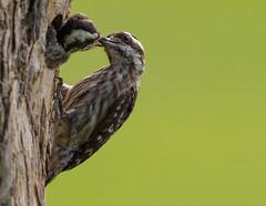Sunda Pygmy Woodpecker (MEphotog) Tags: sunda pygmy woodpecker singapore chick