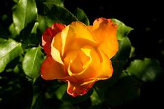Rose (betadecay2000) Tags: beta rosen rosengarten beet beete pflanze flower plant plants green grn rosenbusch rosebush dornen dorn blhen rosenstrauch zierpflanze blume bltenblatt outdoor schrfentiefe