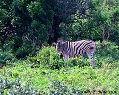 Hluhluwe-Imfolozi 001 (REBlue) Tags: southafrica kwazulunatalprovince hluhluweimfolozipark burchellszebra