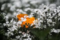 (Arigney22) Tags: beautiful beauty life california plants field flowerfield desaturated palosverdes wild flower