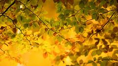 Gold ... (Alex Verweij) Tags: leaf autumn herfst blad gold goud color kleur kleuren bladeren alexverweij canon 5d markiii nunspeet hierden walking wandelen