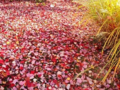 November carpet (MissyPenny) Tags: nature november bristolpennsylvania autumn leaves