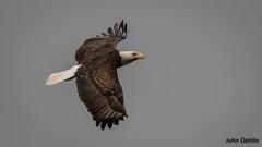 Bald eagle soars over the Juniper Hunt Club, Florida (flintframer) Tags: bald eagle florida wildlife nature raptors flight eagles canon eos d markii ef100400