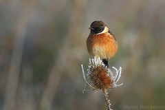 Frosty Stonechat 67011 (wildlifetog) Tags: southeast stonechat frost blackmore britishisles britain bird birds british mbiow martin uk isleofwight canon england european eos7dmkii wild wildlifeeurope wildlife nature