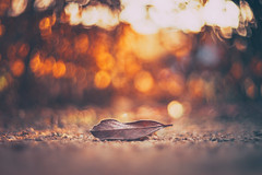 As I Lay Dying (Redux 2016) (Bokehschtig (ON/OFF)) Tags: bokeh leaf leaves autumn fall dof depthoffield shallowdepthoffield circles bubbles colors colours herbst fallenleaf cyclop helios 85mm f15 helios402 cyclop8515 sonya7 sonya7m2 sonya7markii