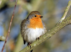 Robin (NickWakeling) Tags: robin strumpshawfen rspb canon60d canonef400mmf56lusm birds wildlife norfolk nature