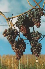 Restposten (alf sigaro) Tags: vredeborch felicette vredeborchfelicette felicetta trollinger badenwrttemberg weinberg weinberge vineyard vineyards kodakso553