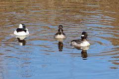 Bufflehead threesome (Delta Naturalists Casual Birding) Tags: 201414 dncb colony dncblocation