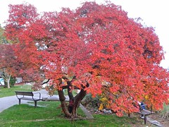 The Smoke Tree . (Irene - HAPPY NEW YEAR) Tags: thesmoketree tree trees treesilhouettes treebranches smokebush leaves park parkscenes localpark fall fallleaves fallscenes fallfoliage falltrees red redleaves seawalk