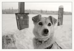 Shusana (R. Drozda) Tags: fairbanks alaska northpole chenafloodcontrolproject sleddog alaskahusky galenadog nollnerdog floodvictim shusana bw bollard poopbag beingthere drozda littledoglaughednoiret